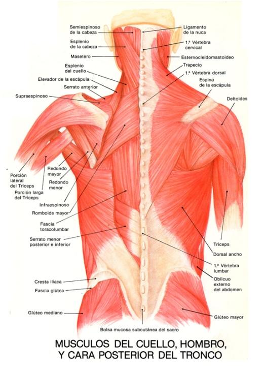 El peligro protruziya sheynogo del departamento de la columna vertebral