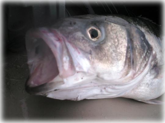Boca del pez